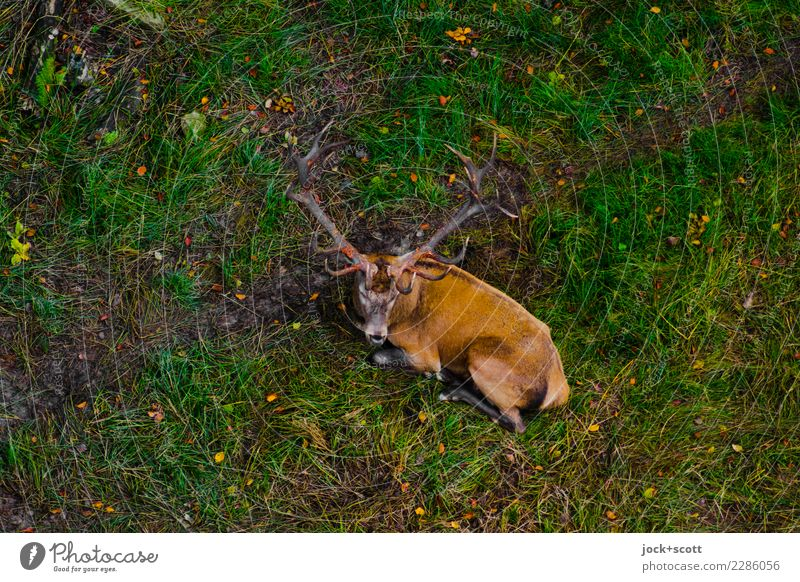 deer on place Nature Green Relaxation Animal Calm Autumn Natural Grass Contentment Lie Wild animal Perspective Break Under Inspiration Safety (feeling of)