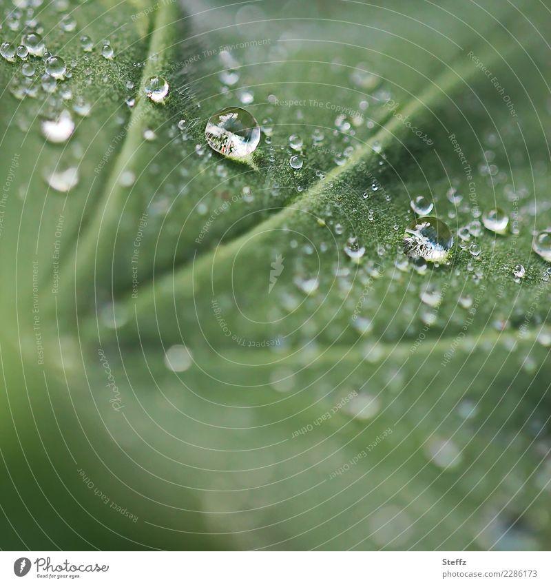 rain pearls Nature Plant Drops of water Climate Weather Rain Leaf Alchemilla vulgaris Alchemilla leaves Rachis Medicinal plant Garden plants