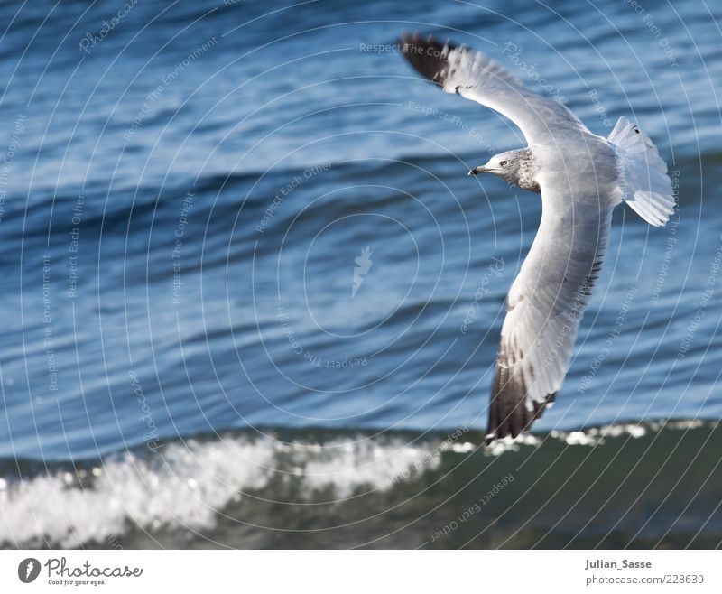 seagull in flight Environment Nature Elements Water Animal Wild animal Bird 1 Flying Ocean Americas Wing Waves Blue Beautiful weather Colour photo Exterior shot