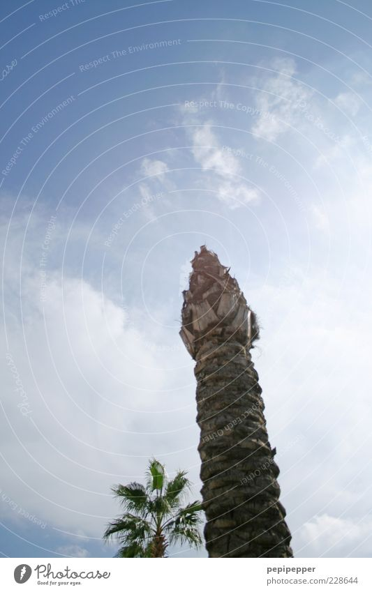 Sky Blue Summer Tree Clouds Life Wood Beautiful weather Tree trunk Exotic Palm tree Faded Skyward