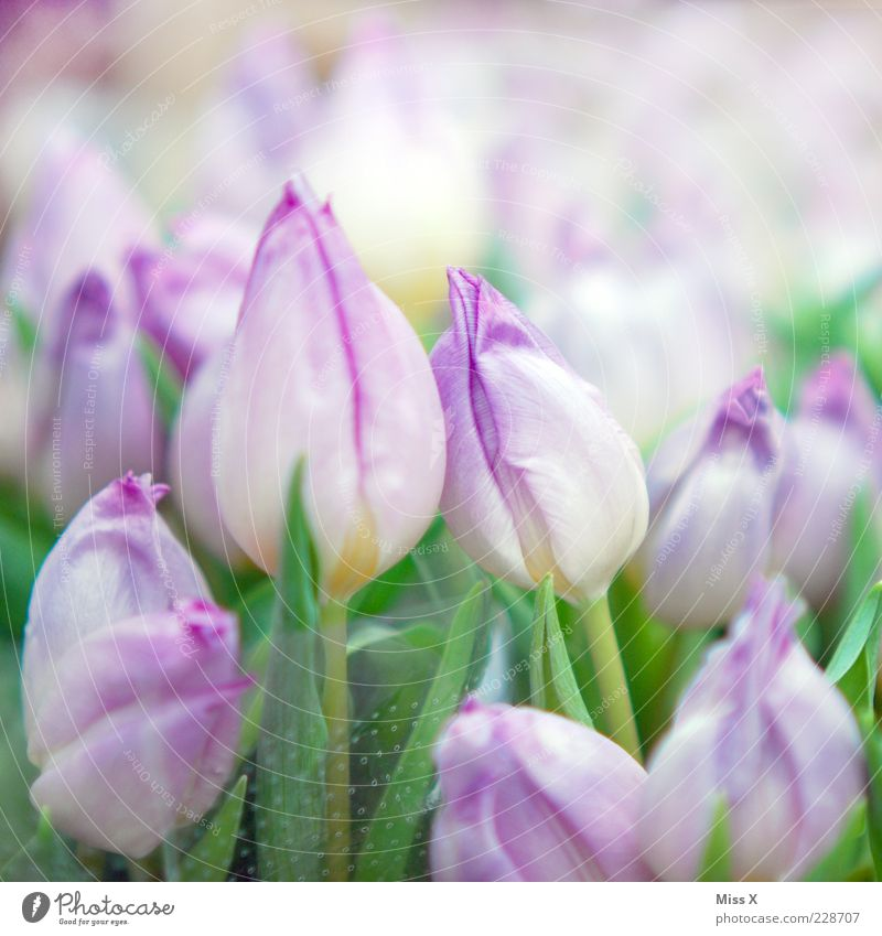 Nature Plant Flower Leaf Blossom Spring Fresh Growth Kitsch Violet Blossoming Bouquet Fragrance Tulip Multicoloured