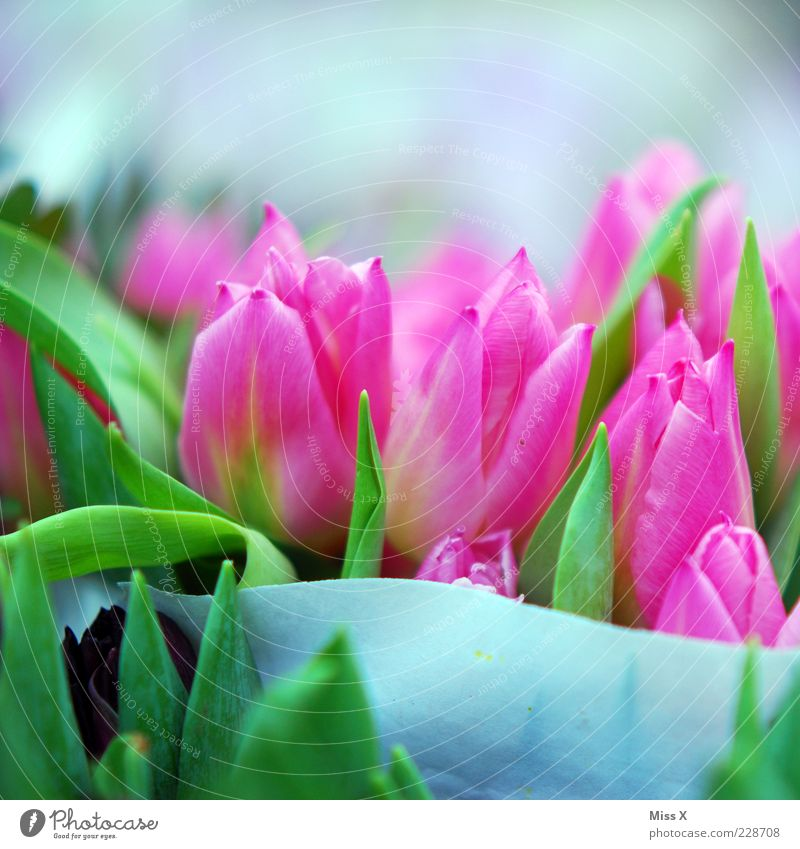 Nature Plant Flower Leaf Blossom Spring Pink Fresh Growth Kitsch Blossoming Bouquet Fragrance Tulip Blossom leave Spring flower