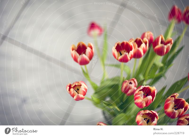 Tulips in the bathroom Spring Flower Blossoming Esthetic Bouquet Red Colour photo Interior shot Copy Space left Shallow depth of field Ground Blur Deserted
