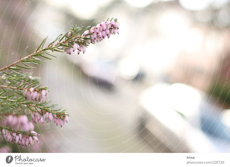 Nature Plant Spring Bushes Heather family