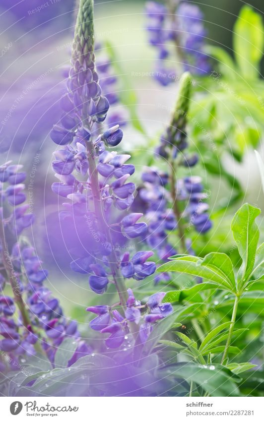 Plant Summer Green Blossom Nutrition Bushes Blossoming Violet Vegetarian diet Herbaceous plants Agricultural crop Wild plant Lupin Lupin blossom Lupine field