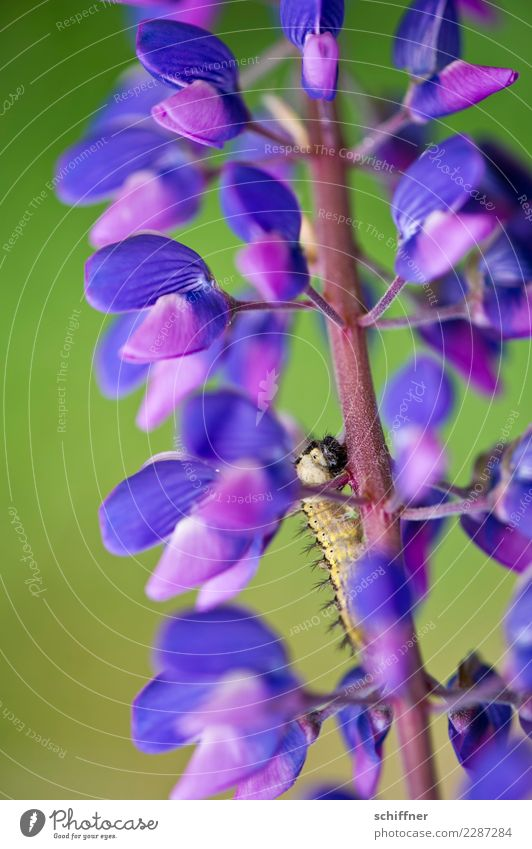 Nature Plant Animal Blossom Wild animal Violet To feed Flowering plants Caterpillar Lupin Lupin blossom