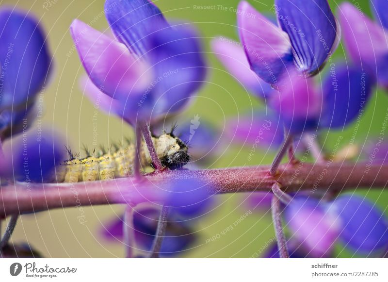 Insatiable II Nature Plant Animal Blossom Wild plant Wild animal 1 Violet Caterpillar To feed Bud Flowering plant Flower stem Lupin Lupin blossom Exterior shot