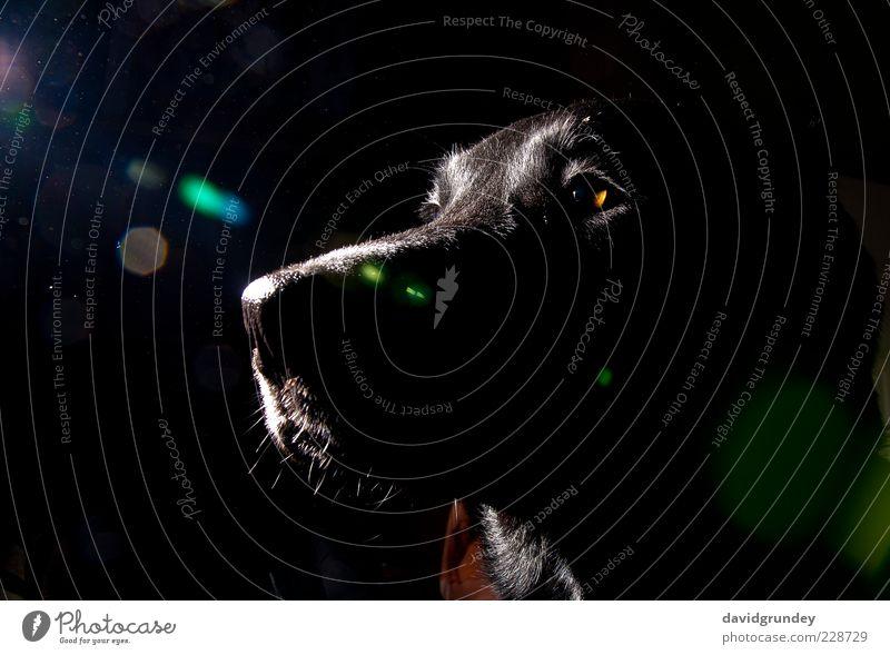 George I Black Animal Dog Brown Cool (slang) Animal face Pet Self-confident Loyal