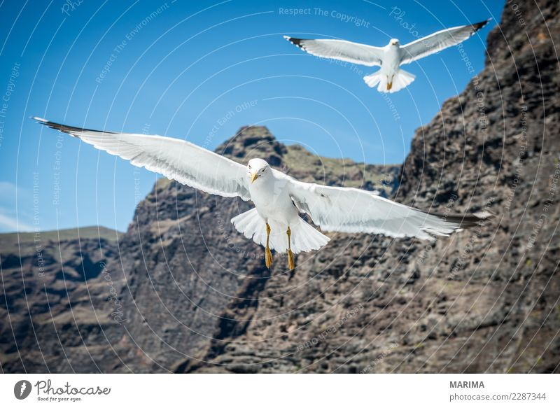 gull feeding Vacation & Travel Nature Animal Coast Ocean Bird 2 Flock Flying Africa canary islands Europe Seagull Los Gigantes Puerto de Santiago spain tenerife