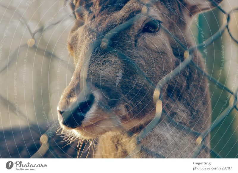 behind bars Nature Animal Wild animal Animal face Deer 1 Observe Illuminate Looking Soft Brown Yellow Gold Warm-heartedness Purity Captured Pelt Eyes Fence