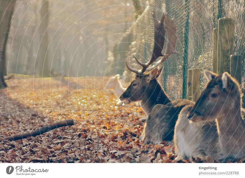 Nature Tree Sun Leaf Yellow Brown Gold Group of animals Warm-heartedness Fence Beautiful weather Antlers Attachment Autumn leaves Deer Roe deer