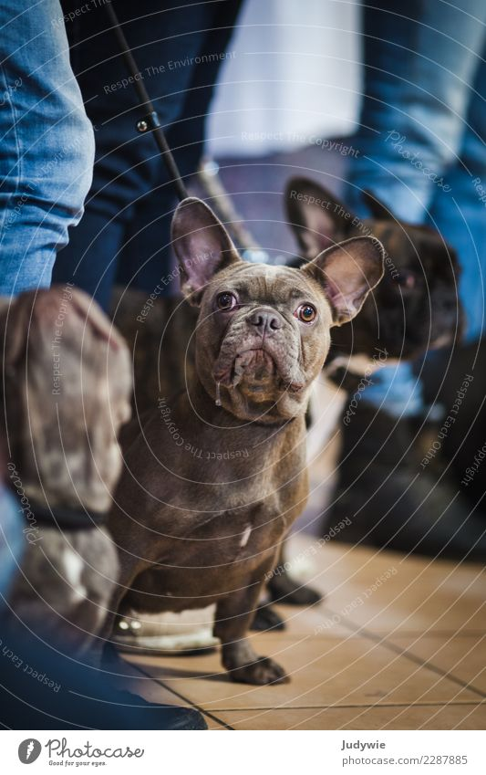 What are you looking at?! Event Shows Dog show Animal Pet Bulldog 3 Group of animals Wait Brash Curiosity Cute Competition Complain Leisure and hobbies
