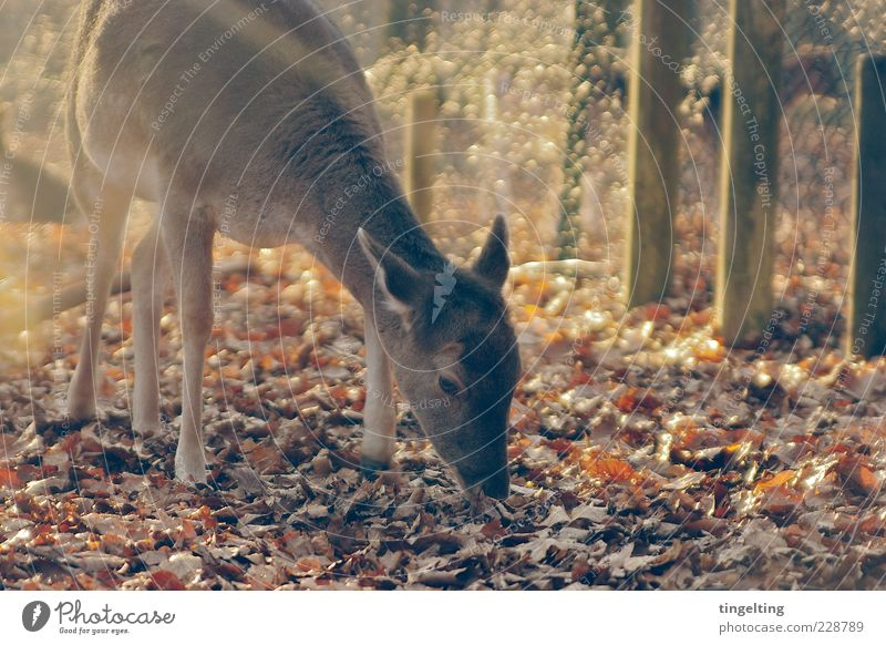Nature Sun Leaf Yellow Brown Elegant Gold Wild animal Soft Pelt Fence Beautiful weather Autumn leaves To feed Roe deer Game park