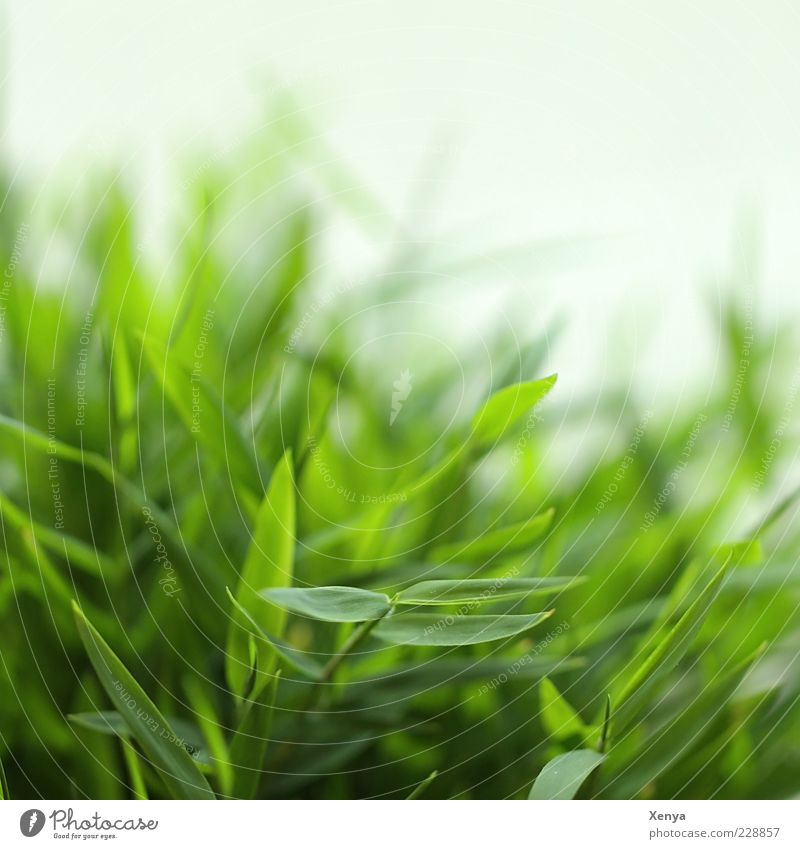 bamboo Plant Grass Foliage plant Exotic Fresh Green Bamboo Close-up Spring Spring fever Colour photo Interior shot Deserted Day Blur Nature Copy Space top Leaf