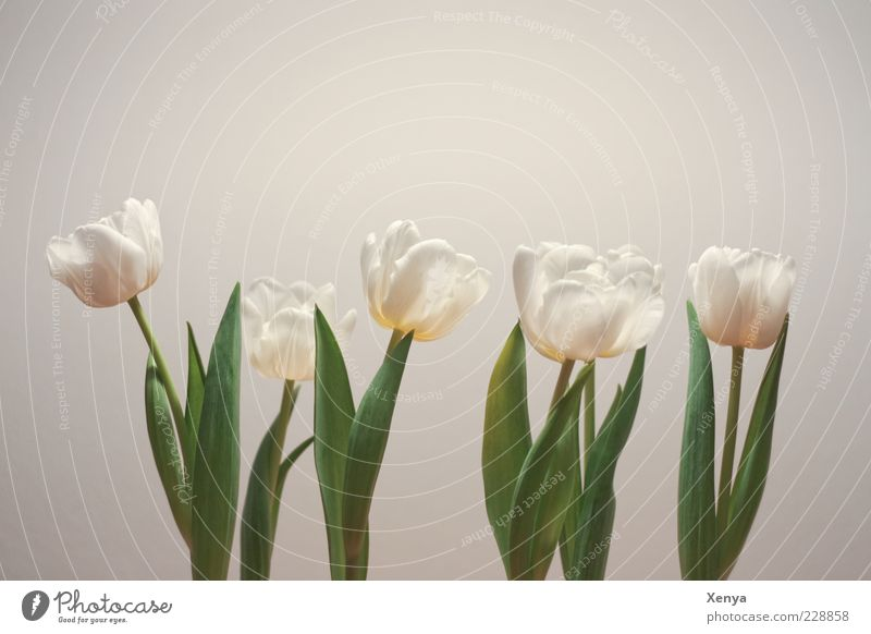 Plant Green White Flower Leaf Spring Blossom Blossoming Hope Stalk Blossom leave Tulip Spring fever Spring flower Beaded