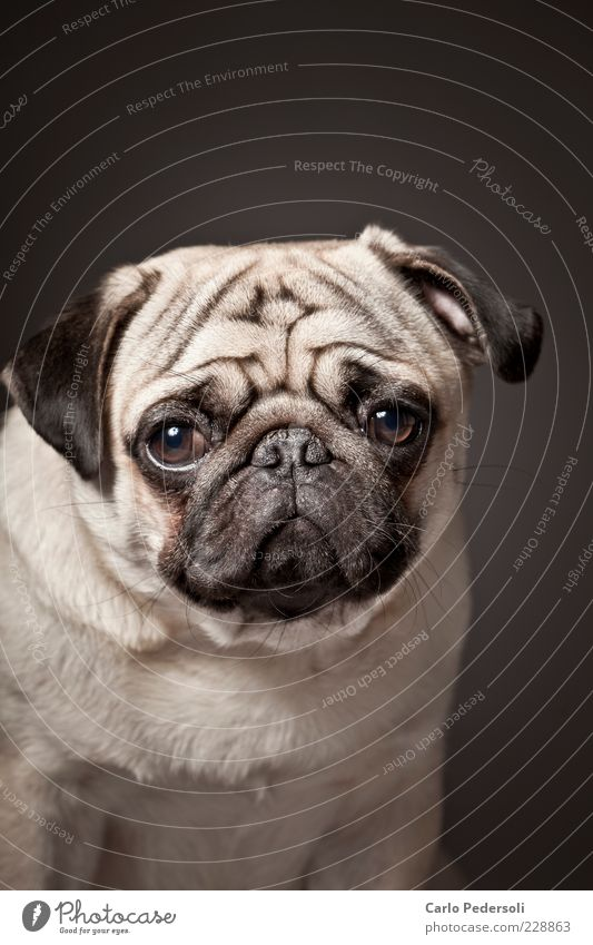 Loneliness Animal Emotions Gray Dog Small Hope Cute Soft Animal face Longing Wrinkles Pelt Fat Fatigue Boredom