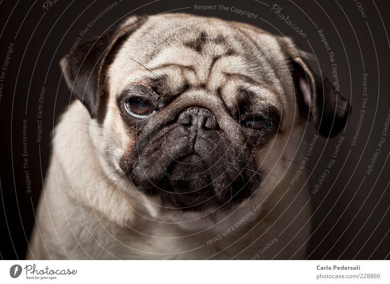 Calm Loneliness Animal Relaxation Emotions Gray Dog Small Sadness Sleep Cool (slang) Animal face Wrinkles Fat Fatigue Boredom