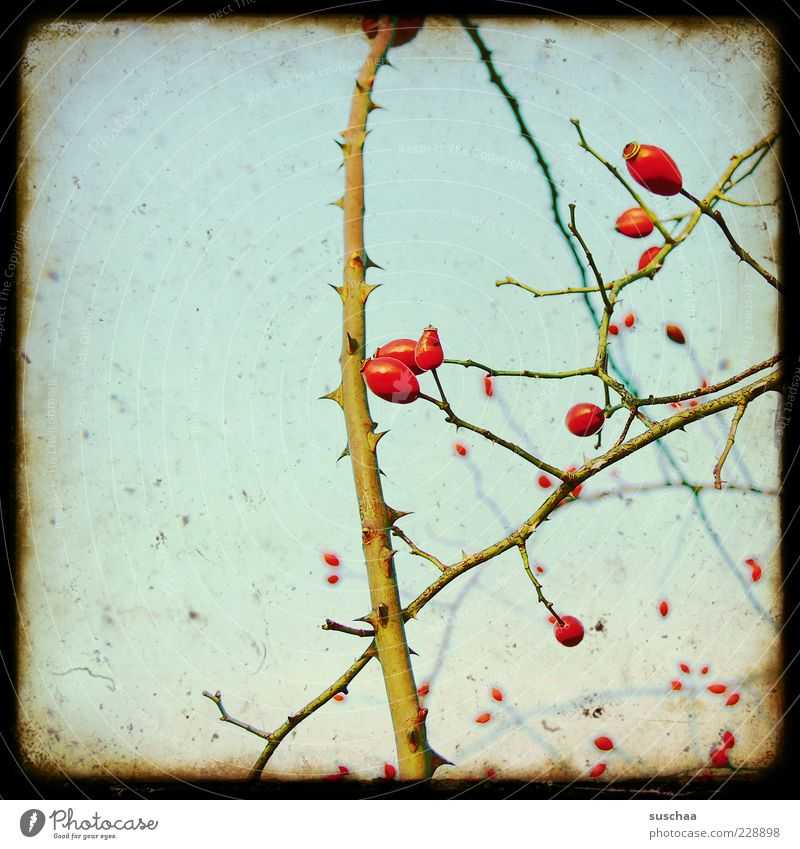 Sky Nature Plant Red Autumn Environment Fruit Growth Bushes Flower Frame Branchage Tendril Thorn Rose Twigs and branches