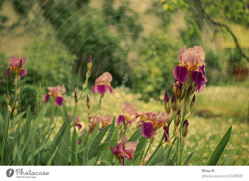 tivoli Nature Plant Summer Iridaceae Garden Park Meadow Blossoming Natural Bud Colour photo Exterior shot Shallow depth of field Flower Stalk Leaf Deserted