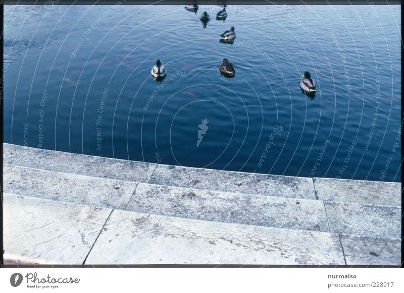 Ducks in the fountain Nature Water Beautiful weather Pond Animal Bird Group of animals Esthetic Trashy Moody Peace Life Transience Subdued colour Abstract