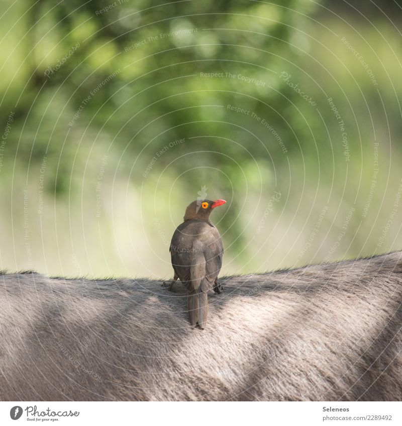 oxpecker Vacation & Travel Tourism Trip Far-off places Freedom Expedition Summer Sun Environment Nature Animal Wild animal Bird Donkey Near Natural Exotic
