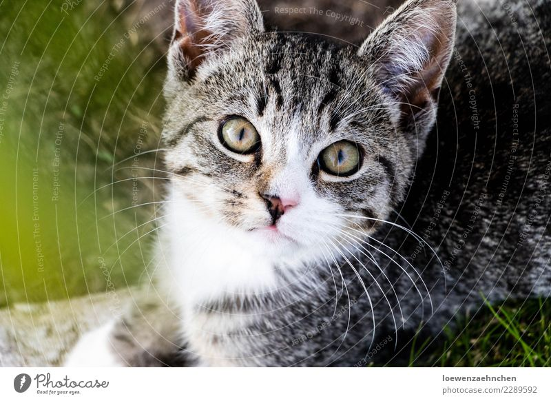 Focused Animal Pet Cat Animal face Pelt 1 Baby animal Observe Discover Listening Looking Wait Curiosity Attentive Watchfulness Interest Experience Colour photo