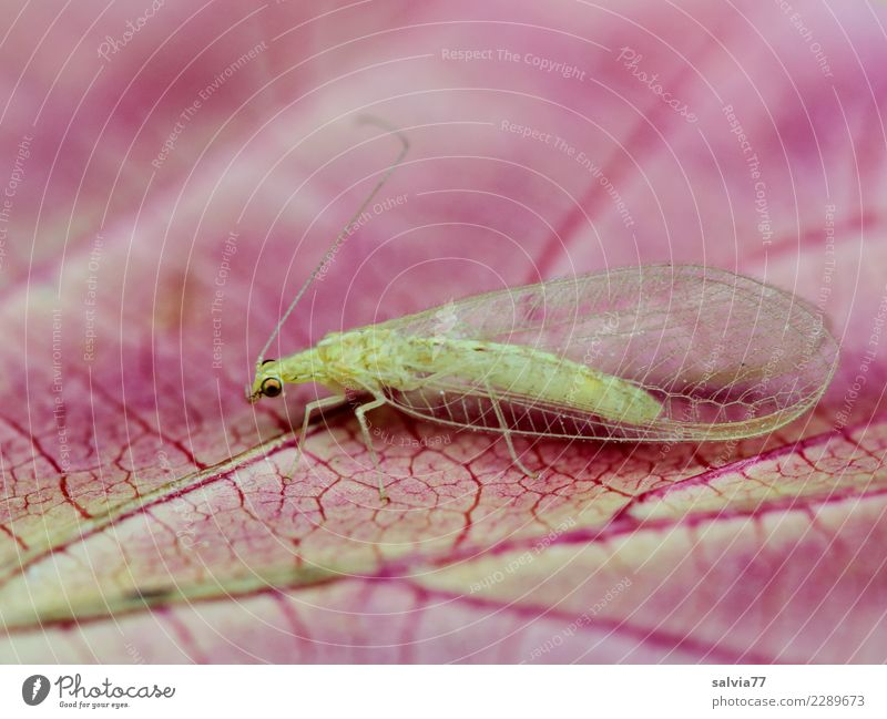 veins Nature Plant Leaf Rachis Animal Animal face Wing Insect Common green lacewing 1 Pink Transience Life line Delicate Fine Colour photo Exterior shot