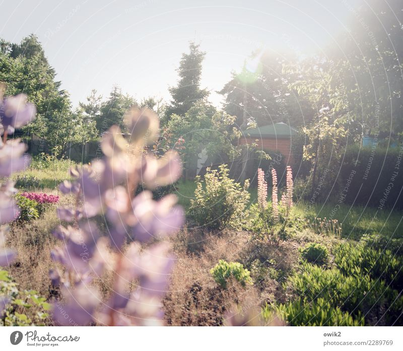 auspicious Environment Nature Landscape Plant Beautiful weather Tree Flower Bushes Lupin Lupin blossom Garden Blossoming Bright Idyll Paradise Colour photo