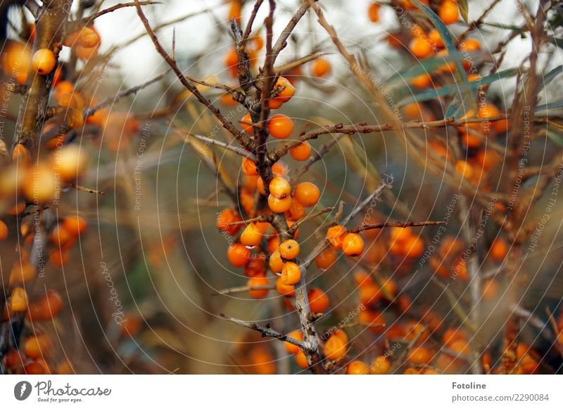 Pure vitamins! Environment Nature Plant Elements Water Drops of water Winter Bushes Agricultural crop Coast Wet Natural Brown Orange Sallow thorn Berries Fruit