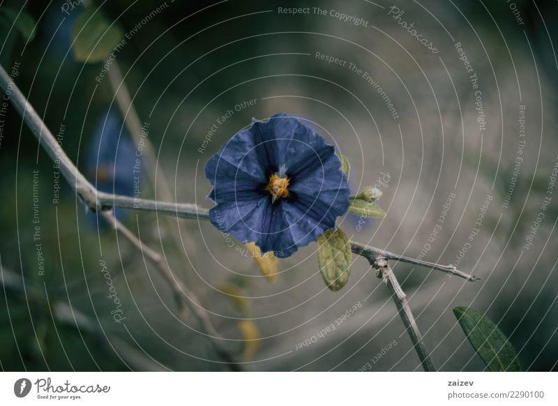 Flor azul de cistus al natural en la rama Nature Plant Blue Summer Colour Beautiful Green Flower Leaf Blossom Spring Meadow Natural Garden Pink Rock