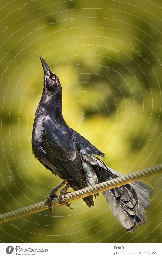Black Bird Stands on Rope Close Up with Green Background Sun Hallowe'en Nature Animal Wild animal 1 Bright Yellow Mysterious Blackbird Crow raven eyes Beak