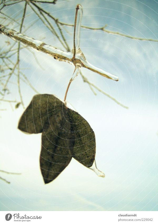 Sky Nature Plant Leaf Winter Cold Ice Frost Frozen Hang Twig Motionless Overlaid Solidify Ice sheet
