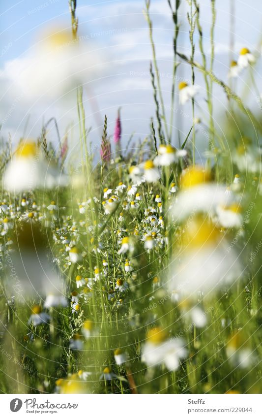 Summer, come soon - blooming summer meadow with camomile flowers Chamomile Camomile blossom Fragrance Camomile scent Meadow Meadow flower Summerflower luscious
