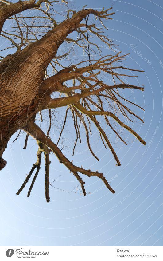 thou shalt not mutilate Tree Tree trunk Tree bark Branch Sky Blue Bleak Winter Treetop Trimmed Abbreviate Portrait format Copy Space bottom Deserted