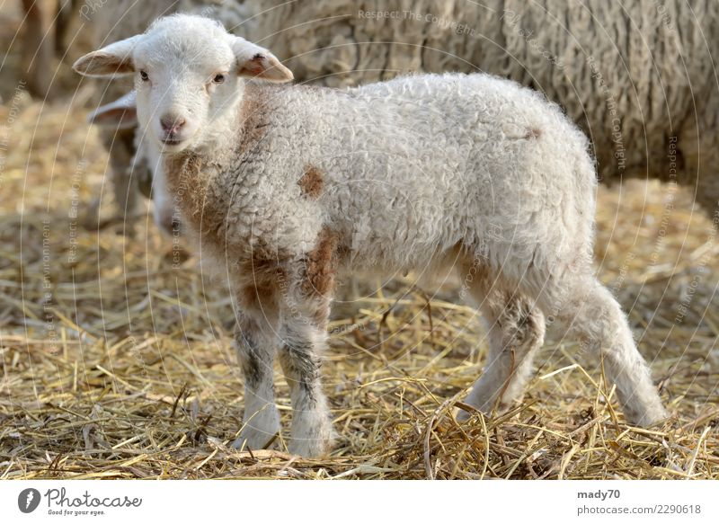 newborn lambs on the farm in spring time Joy Happy Face Sun Easter Industry Baby Family & Relations Friendship Landscape Animal Spring Love Happiness Small New