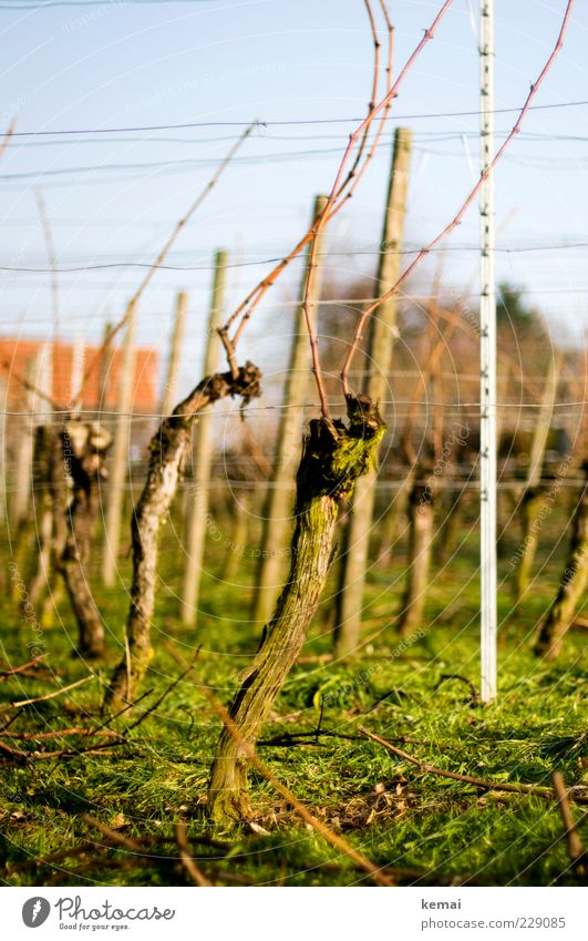 Nature Green Plant Environment Landscape Grass Growth Vine Beautiful weather Agricultural crop Wine growing