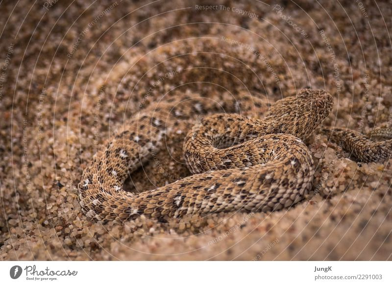 disguised Exotic Nature Animal Sand Desert Wild animal Snake 1 Movement Adventure Vacation & Travel Survive meander Retreat Sand Viper Colour photo