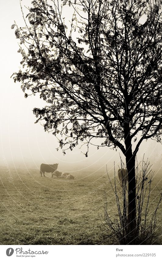 hang out II Environment Nature Landscape Autumn Bad weather Fog Ice Frost Plant Tree Bushes Leaf Meadow Field Hill Animal Cow 3 Herd Cold Wet Gloomy Grass