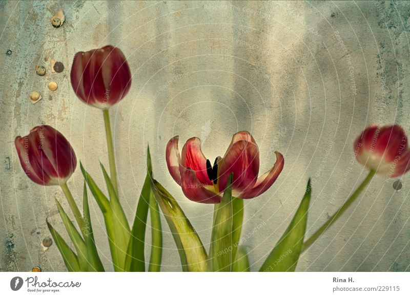 In the eye of the beholder Spring Flower Tulip Faded Green Red Transience Composing Blossom Limp Stalk Leaf Blossom leave Neutral Background Deserted Sunlight
