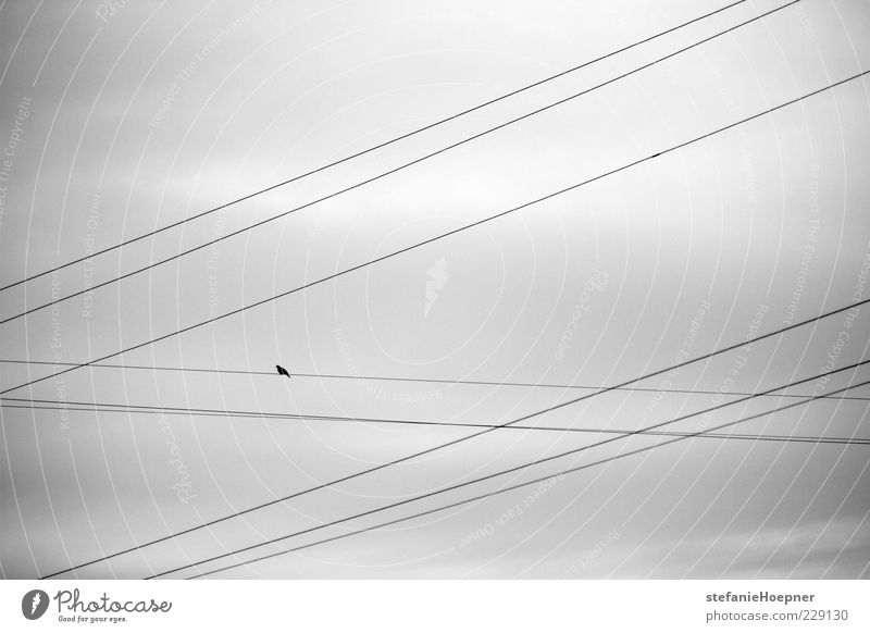 Sky Nature Freedom Bird Sit Wait Cable Gloomy Diagonal Muddled Copy Space High voltage power line Technology Overhead line Animal