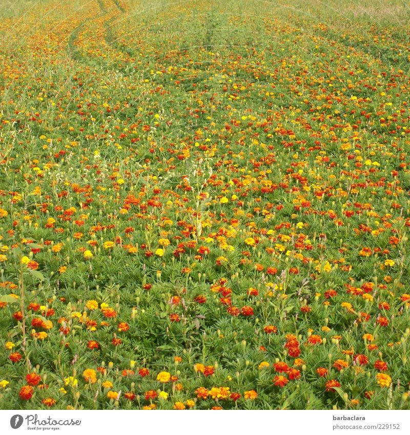 Tagetes - good for your eyes Summer Plant Flower Agricultural crop Marigold Meadow Blossoming Fragrance Esthetic Natural Multicoloured Yellow Gold Experience