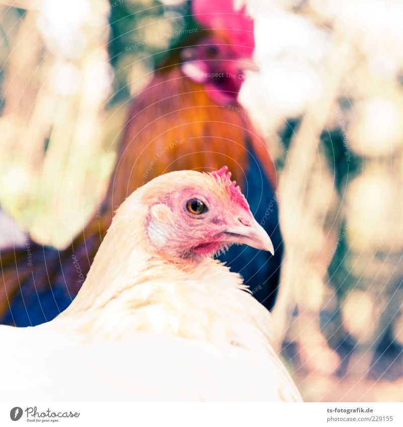 Nature Red Animal Eyes Brown Bird Pink Pair of animals In pairs Cute Feather Curiosity Animal face Beak Farm animal Barn fowl