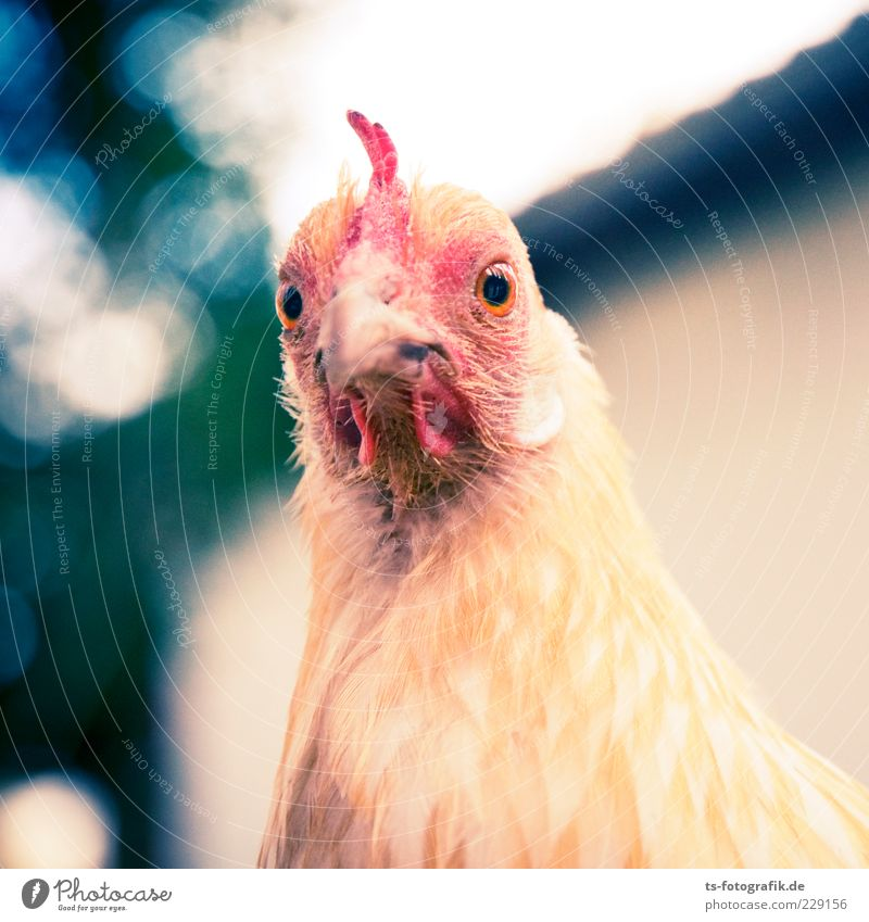 What now, chicken midget? IV Animal Farm animal Animal face 1 Natural Curiosity Cute Yellow Pink Red Barn fowl Beak Feather Eyes Rooster Love of animals Nature