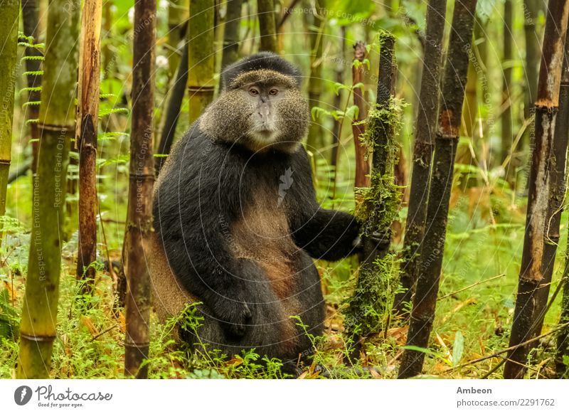 Rwandan golden monkey sitting in the middle of bamboo forest Nature Plant Summer Colour Animal Forest Black Face Wild Park Gold Baby Cute Living thing Pet