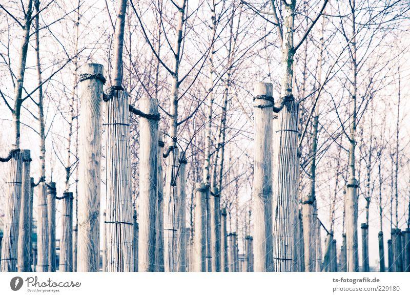 Bonded Nature Environment Plant Sky Tree Wood Line Thin Long Brown Gray Equal Bleak Bracket Prop Tree trunk Tree nursery Branch Winter Autumn Birch tree