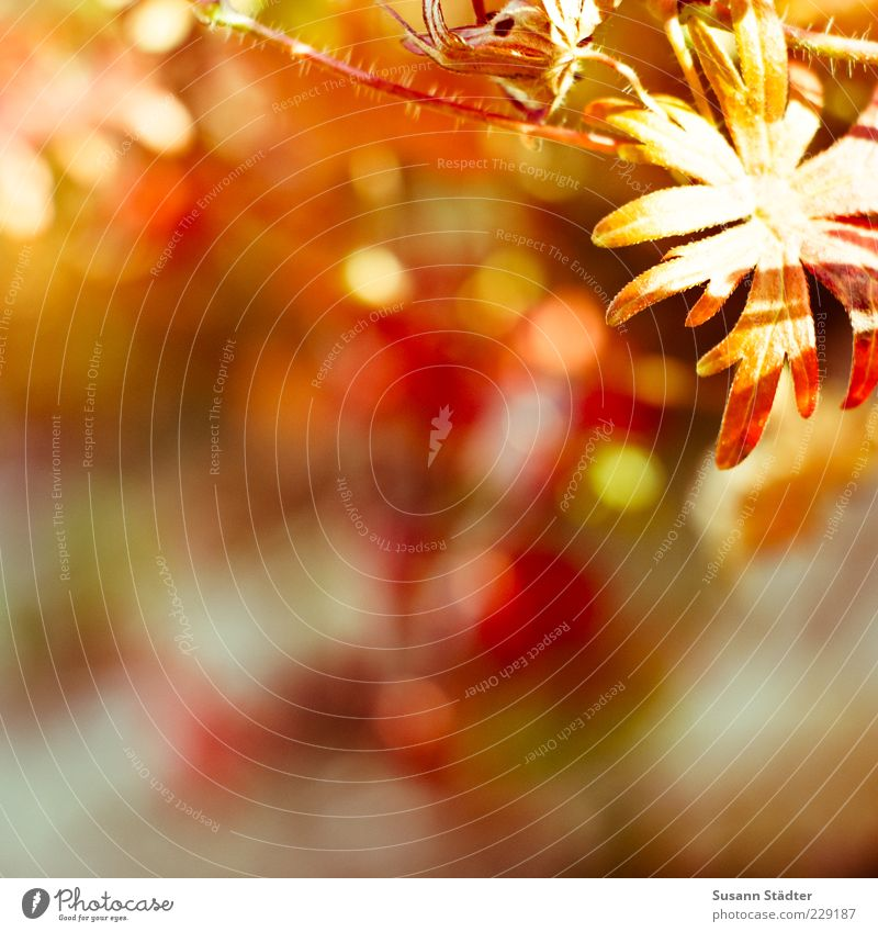 Beautiful Plant Flower Summer Autumn Bushes Illuminate Autumnal Autumnal colours Light Multicoloured Indian Summer