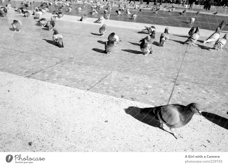 Movement Stone Bird Places Group of animals Many Pigeon Tilt Flock Flock of birds Animal Black & white photo Stone floor