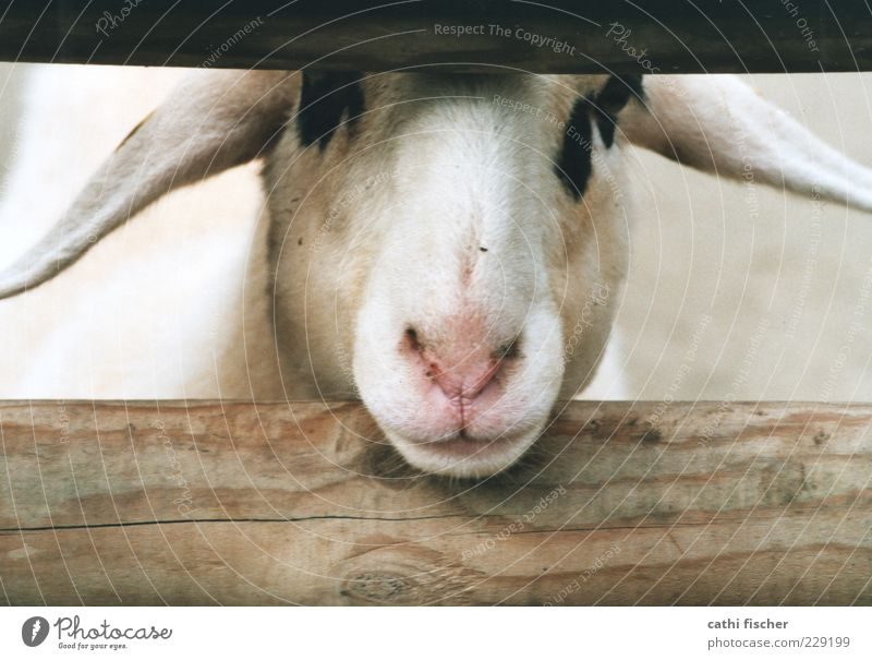 A sheep. Animal Farm animal Animal face Pelt Zoo Petting zoo Sheep Ear Nose Muzzle 1 Looking Wood Joist Speckled Black Mammal Fence Head Pink Analog Snout