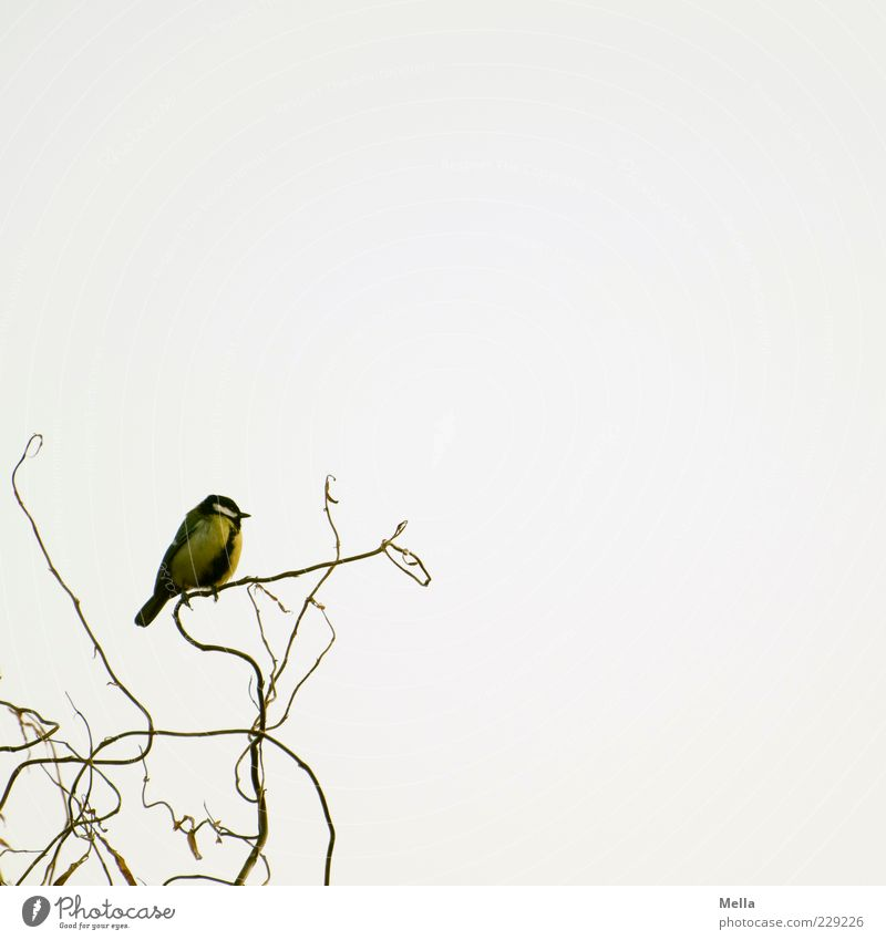 On the ascending branch Environment Nature Animal Branch Branchage Willow tree Bird Tit mouse 1 Crouch Sit Free Bright Small Natural Cute Freedom Colour photo