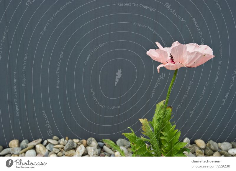 Plant Flower Leaf Wall (building) Gray Blossom Wall (barrier) Stone Pink Facade Blossoming Stalk Blossom leave Pebble Gravel bed